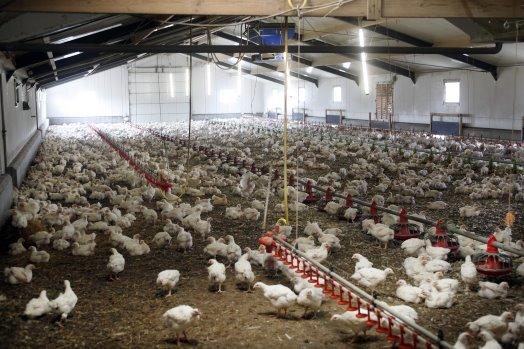 PoultryWorld - Breeding for alternative markets