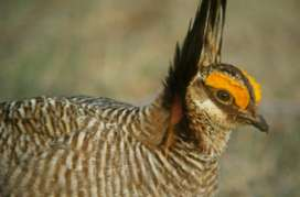Study: Prairie chickens not affected by wind turbines