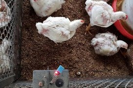 PoultryWorl Smart poultry house aims to avoid heat stress lossess