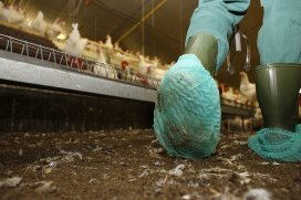 Exploring ways to reduce salmonella in poultry