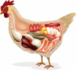 Aa Health Tool Chicken Shutterstock