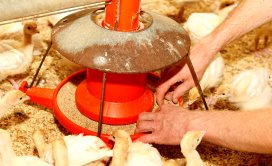 PoultryWorld - Feed restriction in broiler production