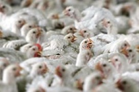 Russian poultry facing slaughter due to company debt