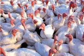 Effect of whole wheat feeding on turkeys
